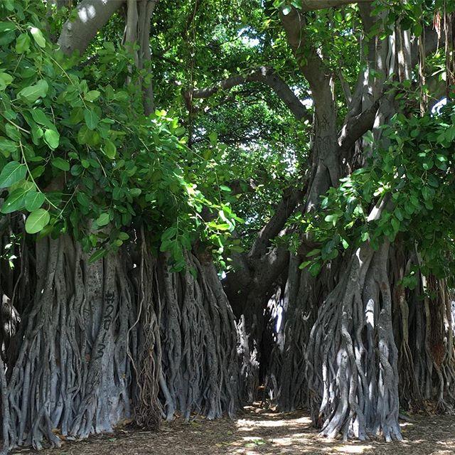 Happy #alohafriday! #hilife #intheshade #givingtree #banyanlove